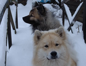 Eurasier Winter